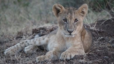 Photo of 구찌, 야생동물 보호 '더 라이언즈 셰어 펀드' 함께한다